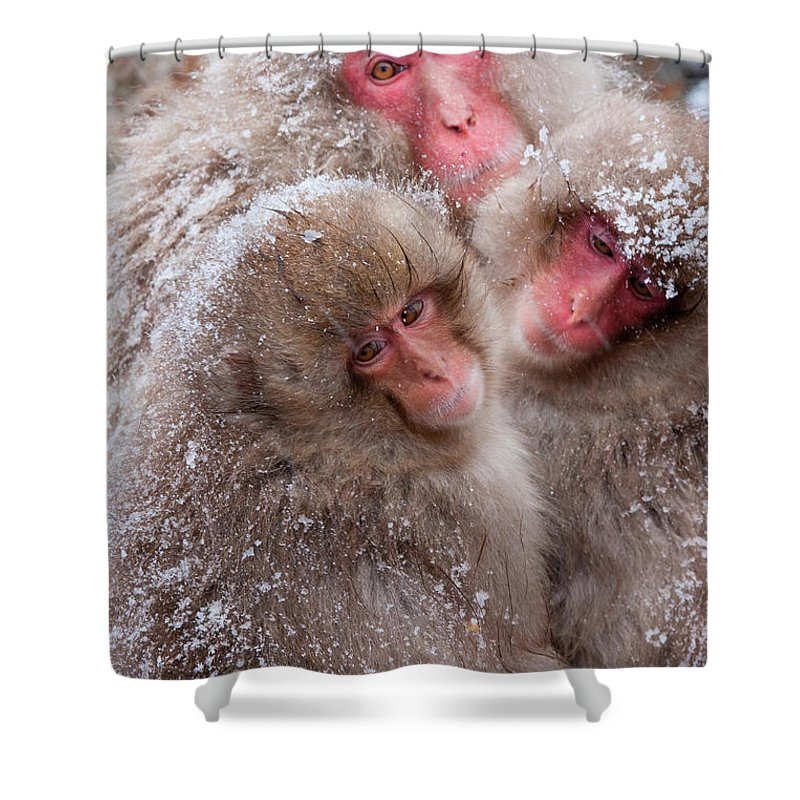 Vertebrate Shower Curtain featuring the photograph Japanese Macaques, Japanese Alps by Mint Images/ Art Wolfe