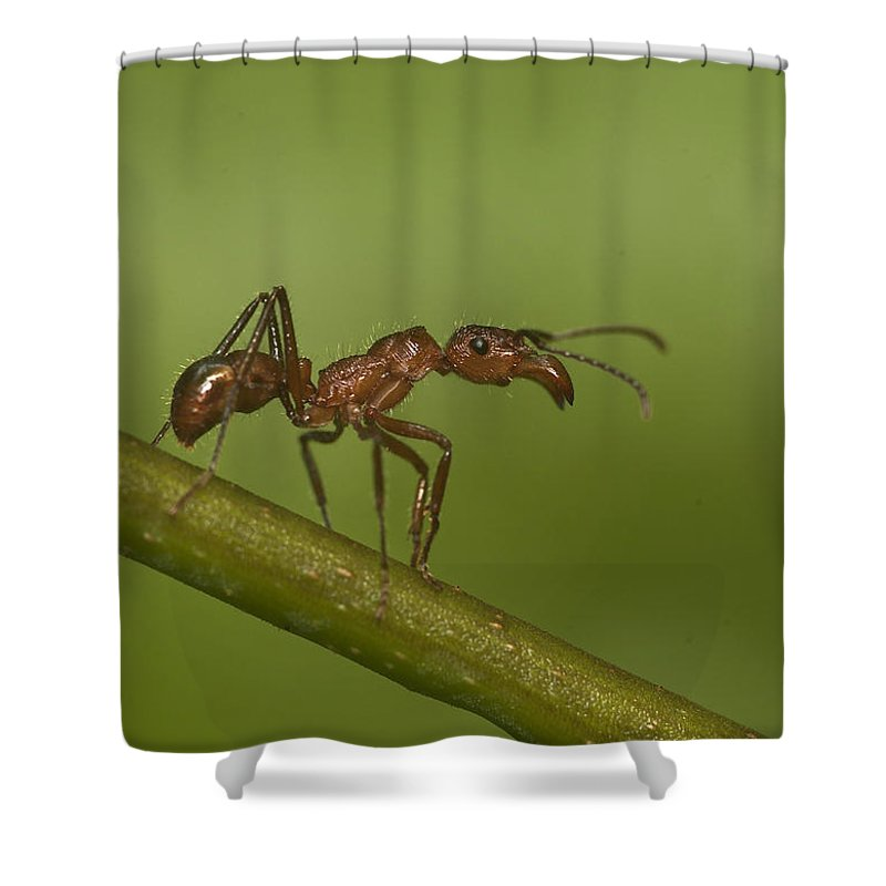 Amazonian Shower Curtain featuring the photograph Kelep Ant by Michael Lustbader