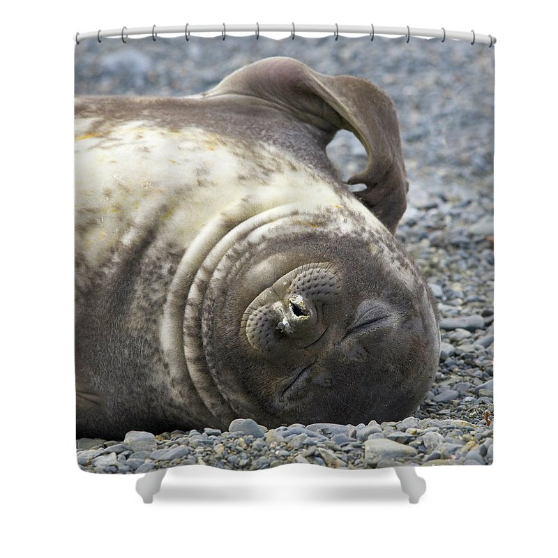 South Georgia Island Shower Curtain featuring the photograph Southern Elephant Seal Weaner Pup by Eastcott Momatiuk