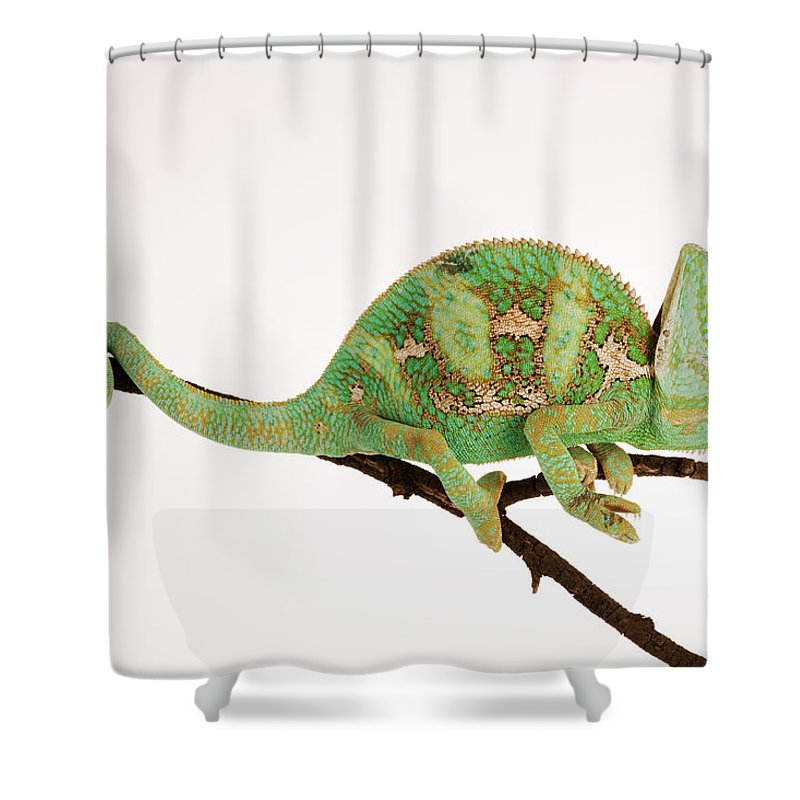 White Background Shower Curtain featuring the photograph Yemen Chameleon Sitting On Branch by Martin Harvey