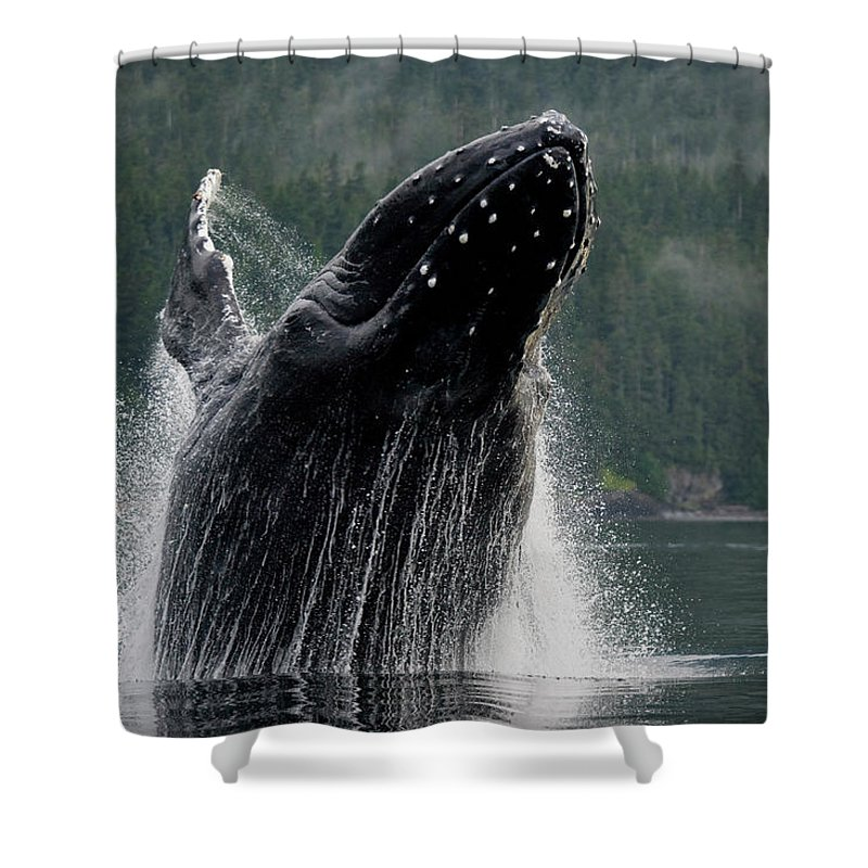 Animal Themes Shower Curtain featuring the photograph Breaching Humpback Whale, Alaska by Paul Souders