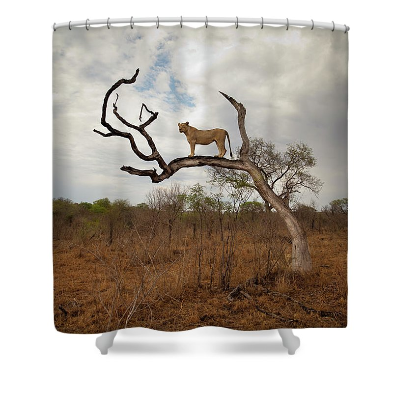 Scenics Shower Curtain featuring the photograph A Female Lion Standing On Bare Branch by Sean Russell