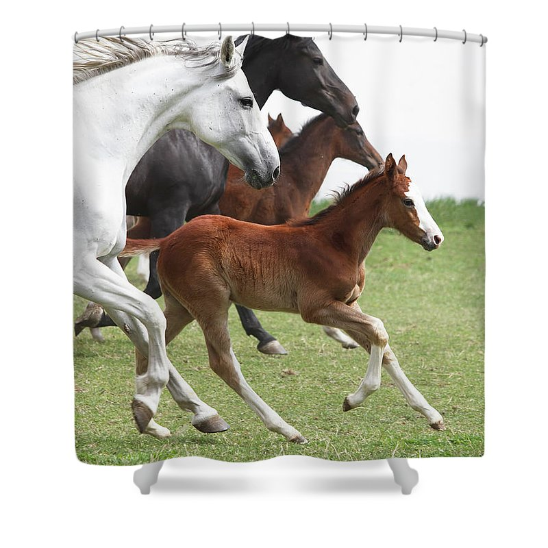 Horse Shower Curtain featuring the photograph A Group Of Galloping Horses In An Open by Somogyvari