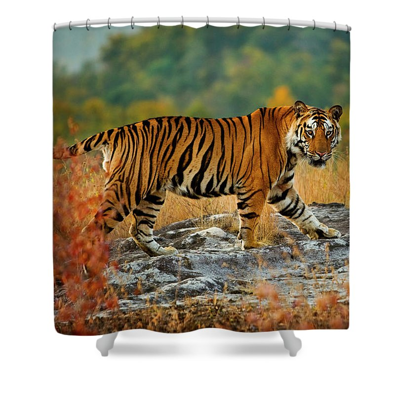 Vertebrate Shower Curtain featuring the photograph A Large Tiger In Bandhavgarh National by Mint Images - Art Wolfe