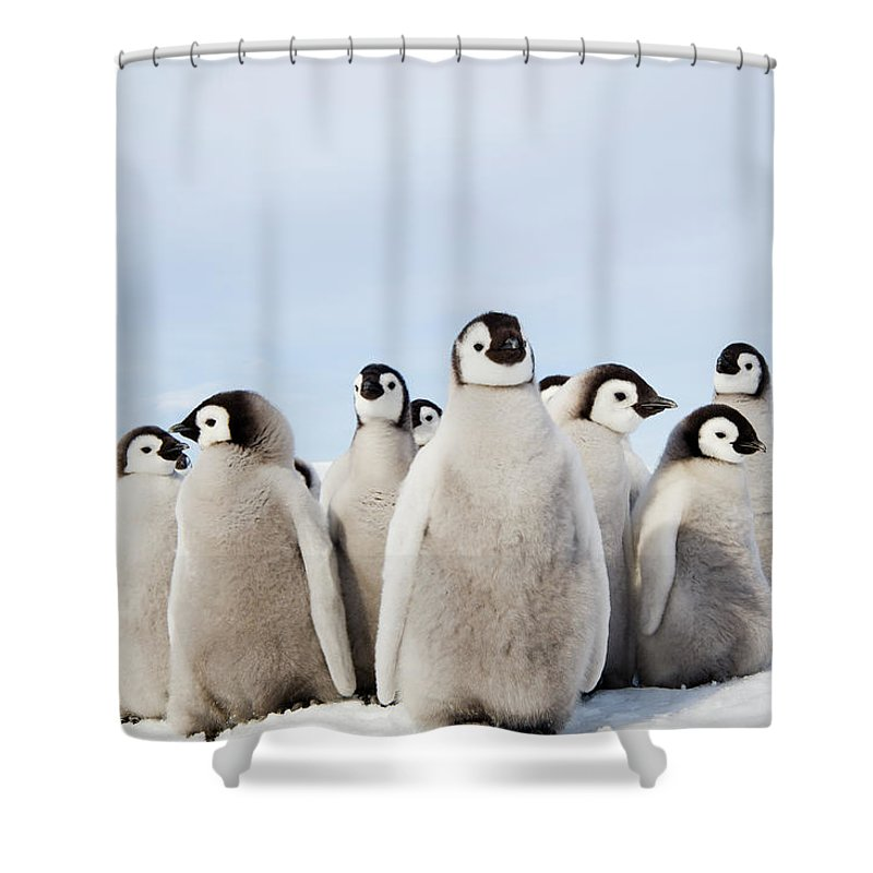 Emperor Penguin Shower Curtain featuring the photograph A Nursery Group Of Emperor Penguin by Mint Images - David Schultz