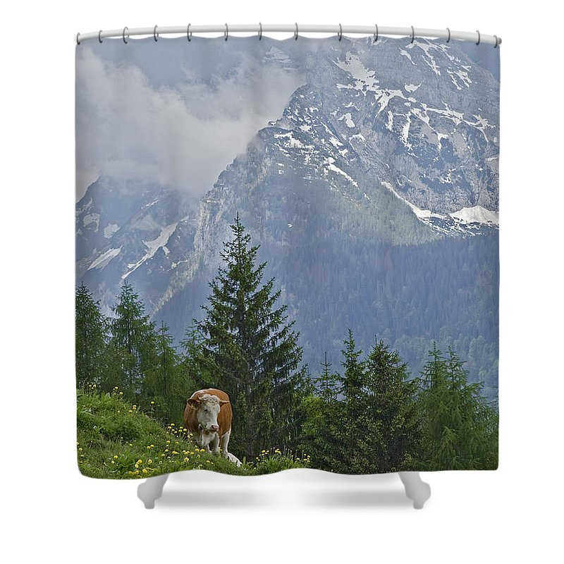 Working Animal Shower Curtain featuring the photograph Alpine Cow by Photograph Taken By Nicholas James Mccollum