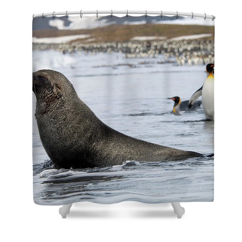 Water's Edge Shower Curtain featuring the photograph An Antarctic Fur Seal, Arctocephalus by Mint Images - David Schultz
