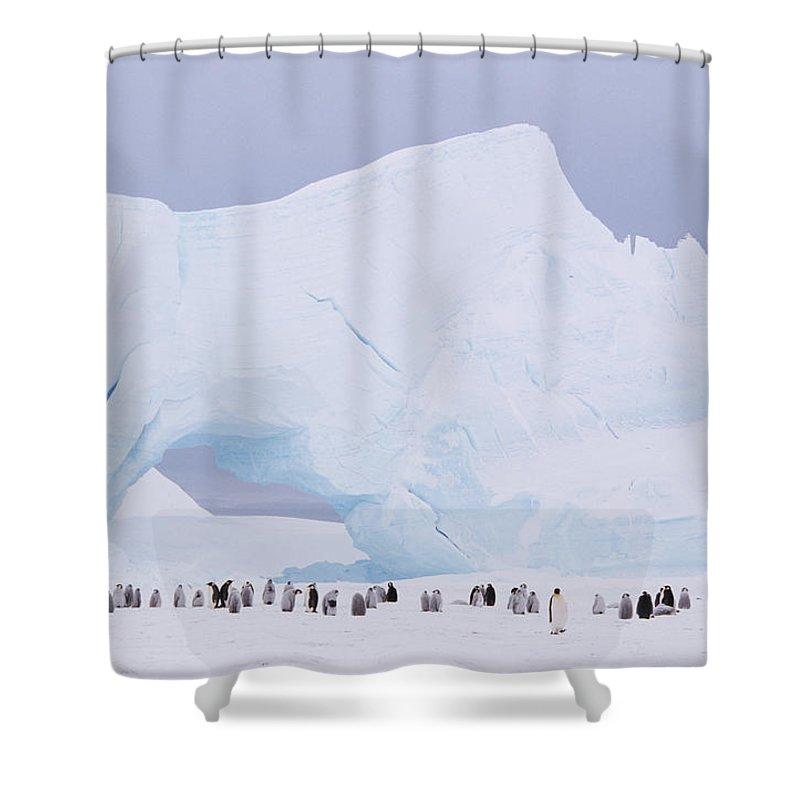 Emperor Penguin Shower Curtain featuring the photograph Antarctica, Emperor Penguin Aptenodytes by Joseph Van Os