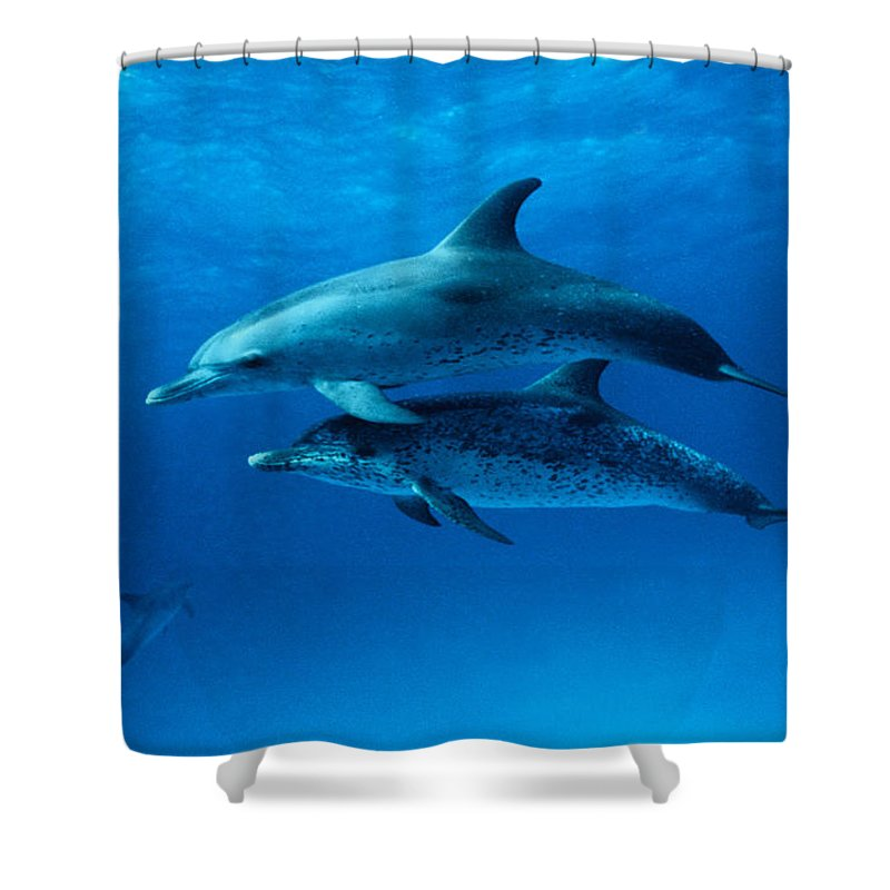 Color Image Shower Curtain featuring the photograph Atlantic Spotted Dolphins,stenella by Gerard Soury