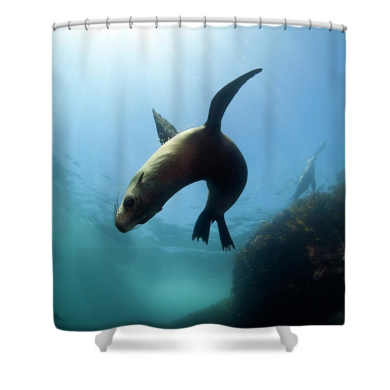 Underwater Shower Curtain featuring the photograph Australian Fur Seal With Sun Burst by Alastair Pollock Photography