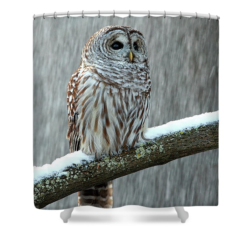 Alertness Shower Curtain featuring the photograph Barred Owl In The Snow by Alex Thomson Photography
