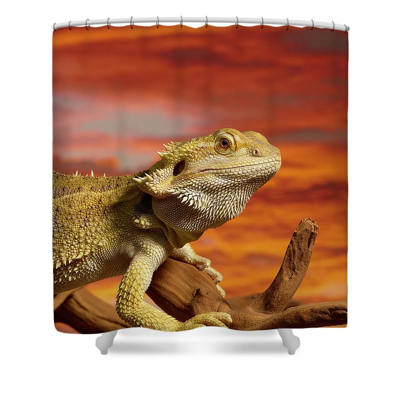 Pets Shower Curtain featuring the photograph Bearded Dragon Pogona Vitticeps On by Don Farrall