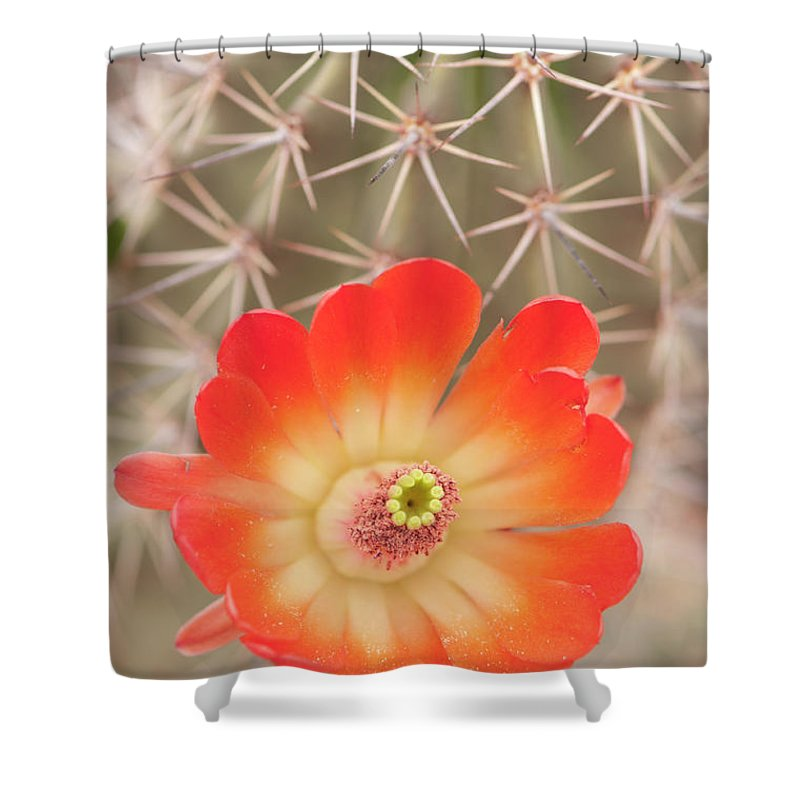 Orange Color Shower Curtain featuring the photograph Beautiful Claret Cup Hedgehog Blossoms by Lokibaho