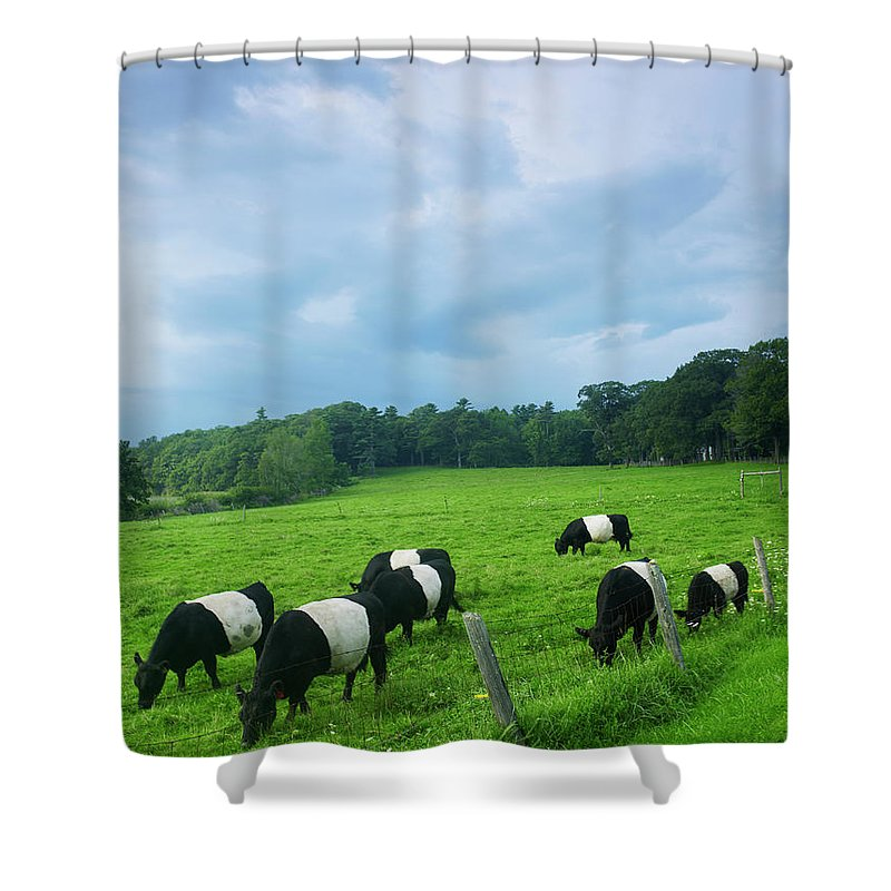 Scenics Shower Curtain featuring the photograph Belted Galloways by John P Kelly