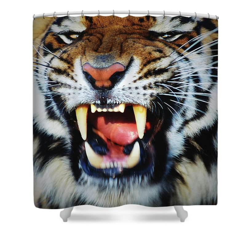 Snarling Shower Curtain featuring the photograph Bengal Tiger Panthera Tigris Tigris by Mike Hill