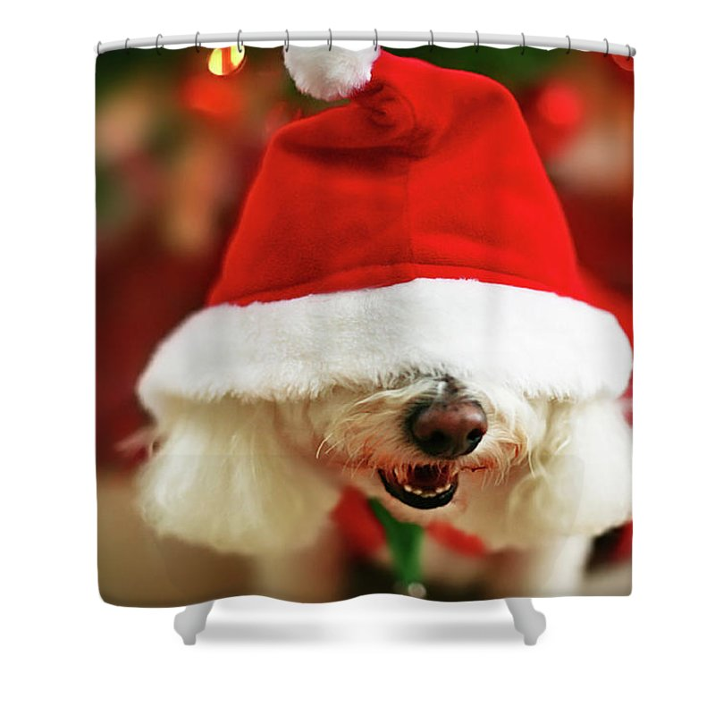 Pets Shower Curtain featuring the photograph Bichon Frise Dog In Santa Hat At by Nicole Kucera