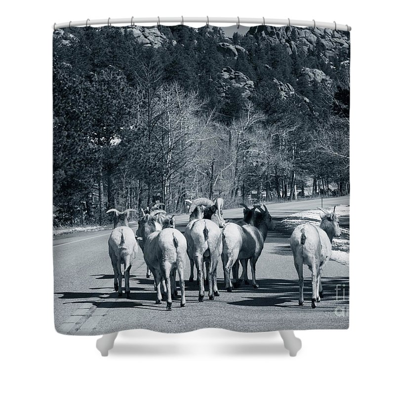Domestic Animals Shower Curtain featuring the photograph Bighorn Sheep Ovis Canadensis Walking by Clay Alchemist