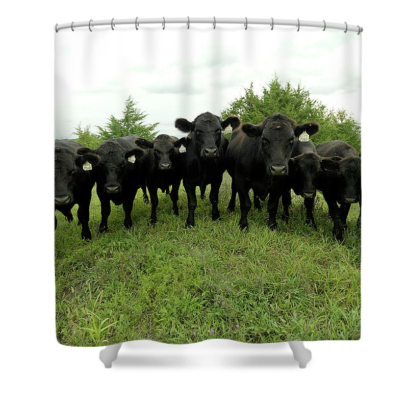 Grass Shower Curtain featuring the photograph Black Angus Cows by Xpacifica