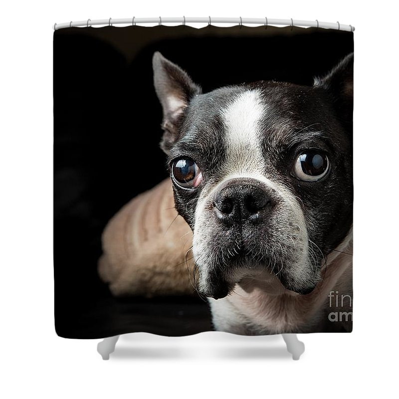 Pets Shower Curtain featuring the photograph Boston Terrier Portrait, Pasadena by Scott Wu
