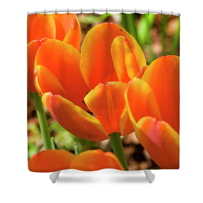 Flowerbed Shower Curtain featuring the photograph Bright Orange Tulips by Earleliason