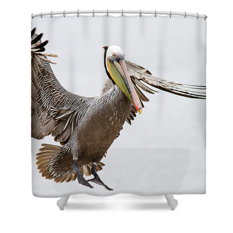 Oakland Shower Curtain featuring the photograph Brown Pelican by By Davor Desancic