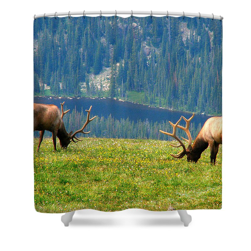 Grass Shower Curtain featuring the photograph Bull Elk Grazing In Colorado by Sandra Leidholdt