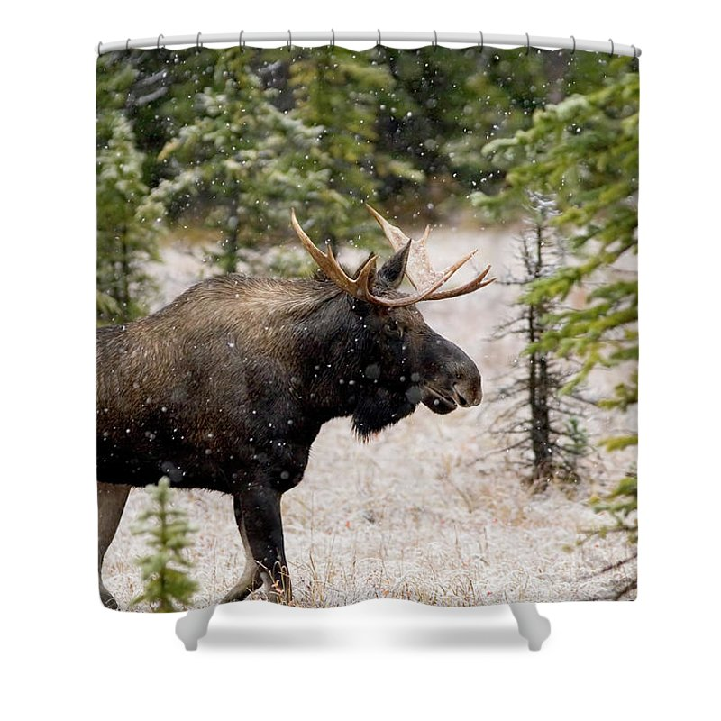 Horned Shower Curtain featuring the photograph Bull Moose In Snow Fall by Tulissidesign