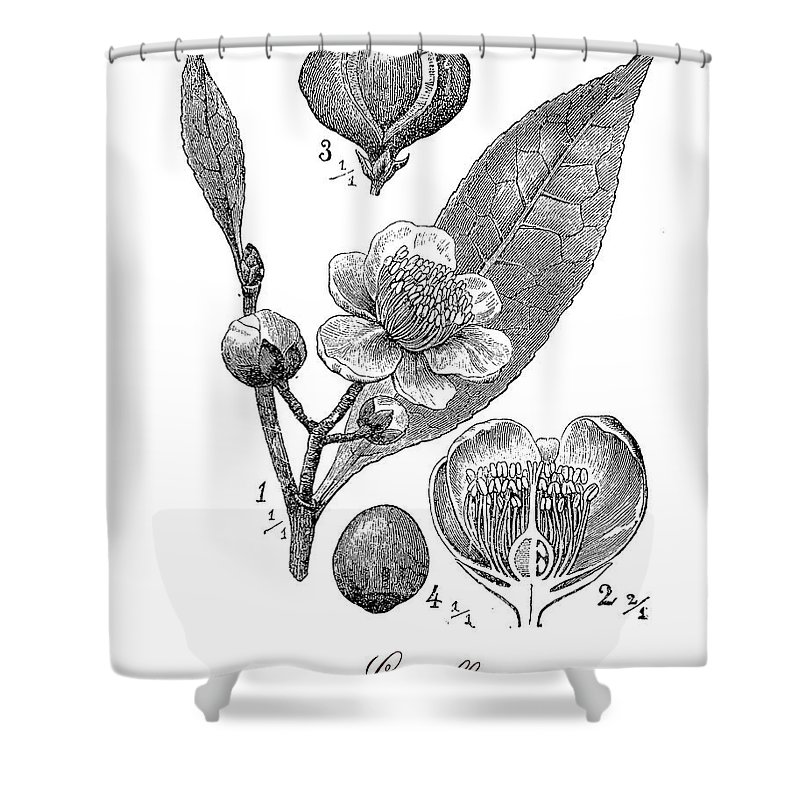 Camellia Sinensis Shower Curtain featuring the digital art Camellia Sinensis, Botanical Vintage Engraving by Luisa Vallon Fumi