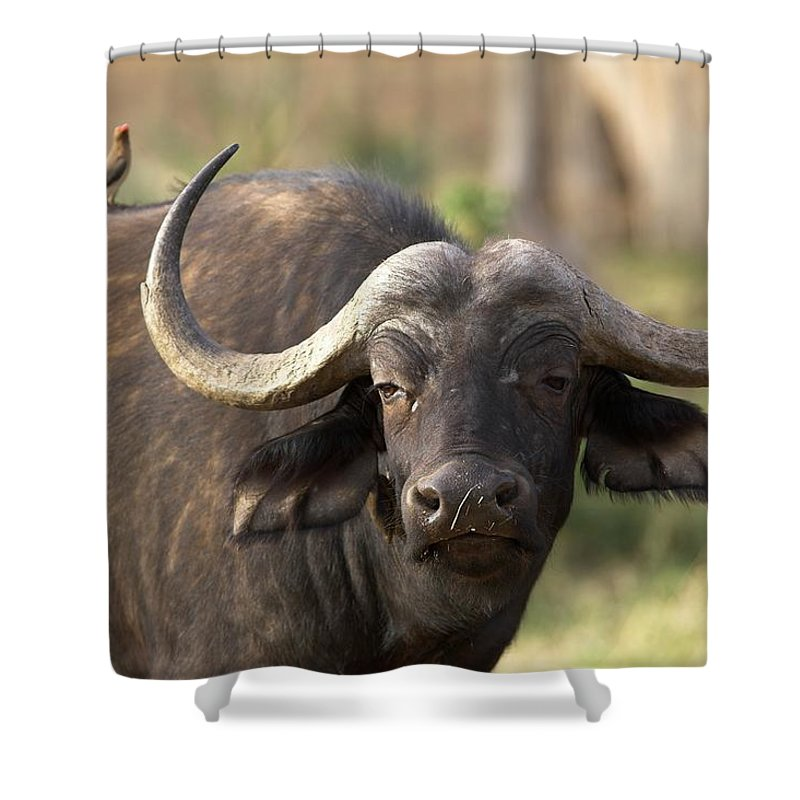 Horned Shower Curtain featuring the photograph Cape Buffalo Portrait From Africa by Gp232