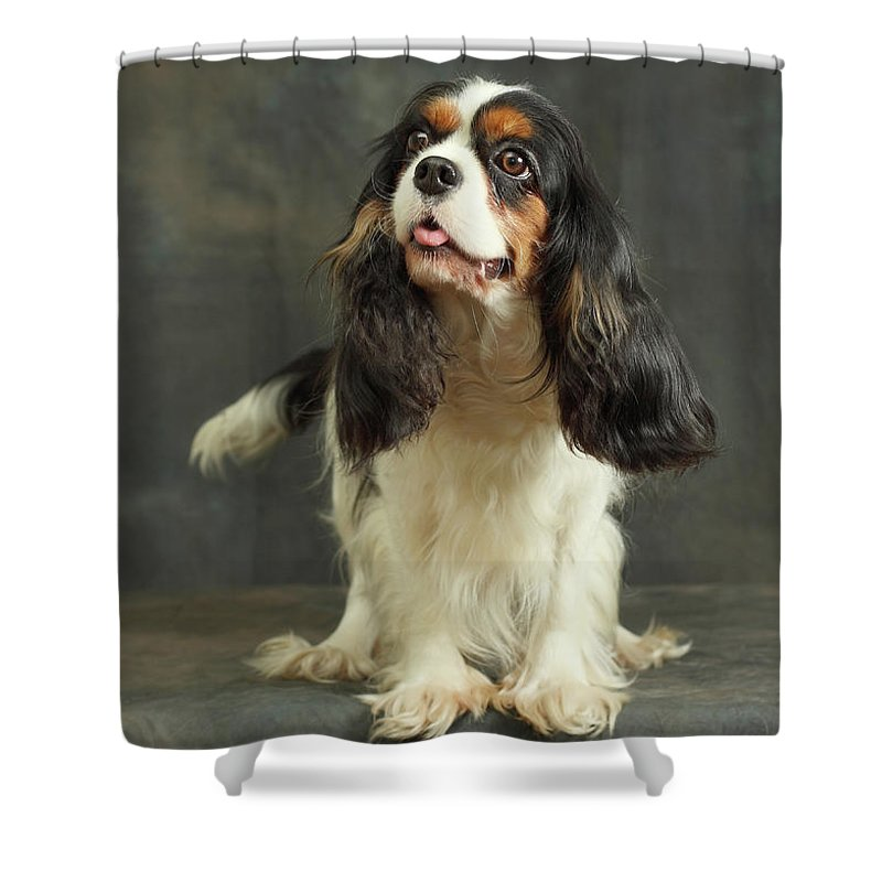 Pets Shower Curtain featuring the photograph Cavalier King Charles Spaniel by Sergey Ryumin