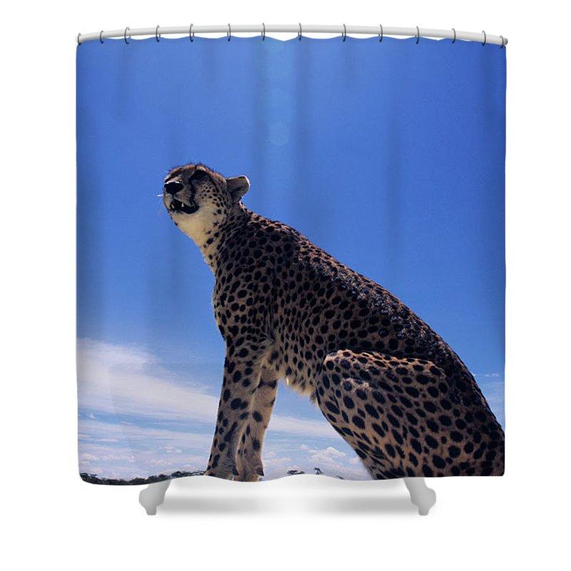 Kenya Shower Curtain featuring the photograph Cheetah Acinonyx Jubatus, Against Blue by Anup Shah