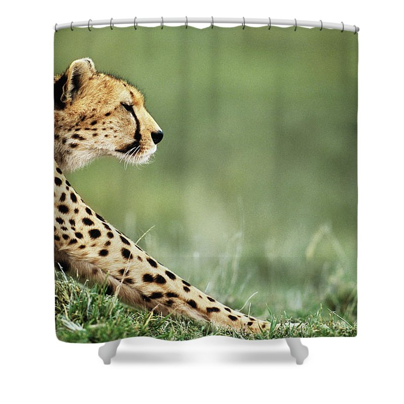 Grass Shower Curtain featuring the photograph Cheetah Acinonyx Jubatus Stretching by Anup Shah