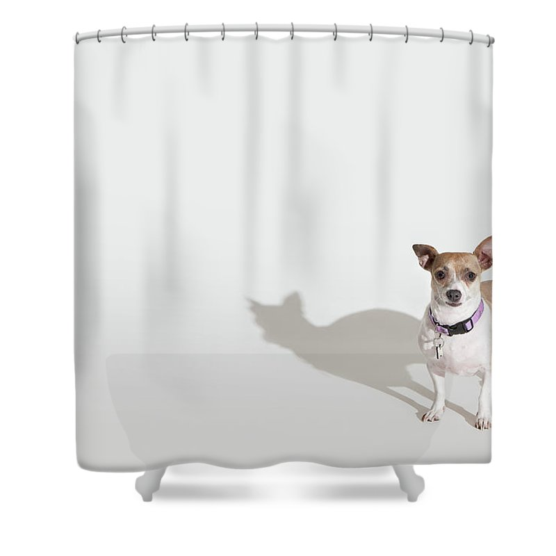 Pets Shower Curtain featuring the photograph Chihuahua by Josh Ross