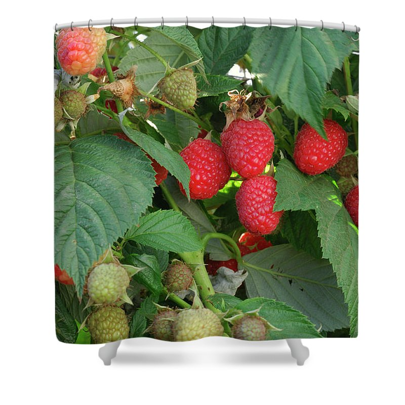 Non-urban Scene Shower Curtain featuring the photograph Close-up Ripening Organic Raspberries by Gomezdavid