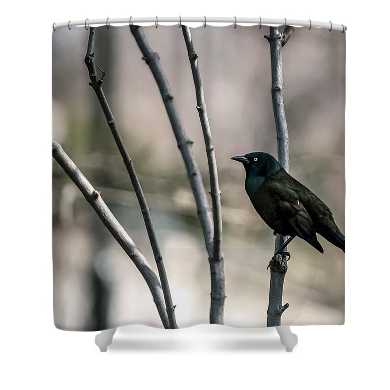 Animal Themes Shower Curtain featuring the photograph Common Grackle by By Ken Ilio