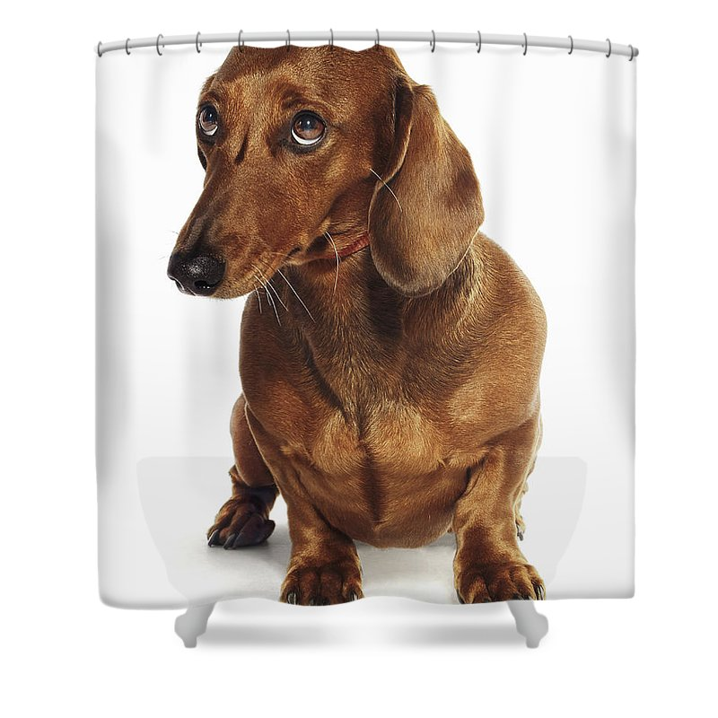 Pets Shower Curtain featuring the photograph Dachshund Looking Up by Gandee Vasan