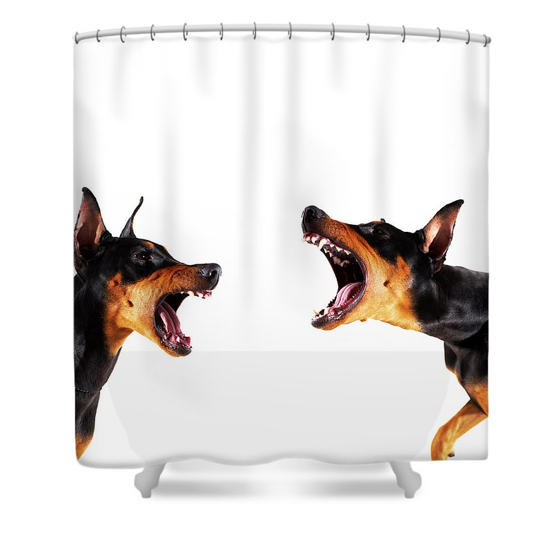 Pets Shower Curtain featuring the photograph Dobermans Barking At Each Other by Thomas Northcut