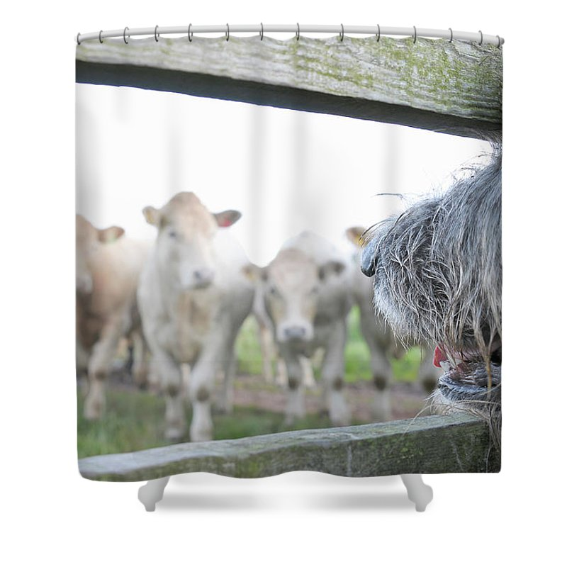 Alertness Shower Curtain featuring the photograph Dog Watching Cows Through Fence by Cecilia Cartner