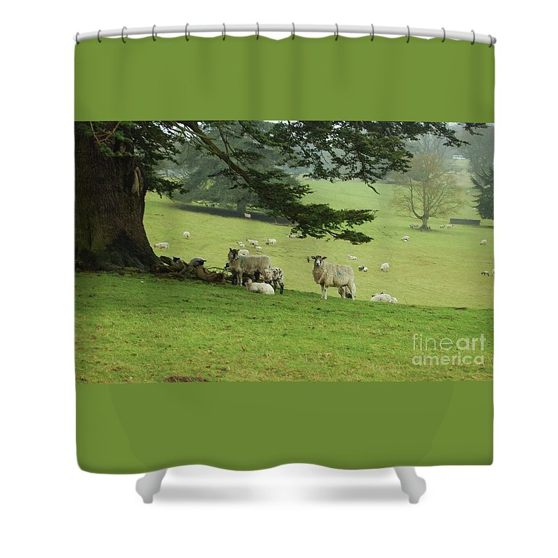 Bucolic English Setting Outdoors Travel Tourism Country Life Sylvan Setting Highclere Castle Aka Downton Abbey Location Colors Of The Earl Of Carnarvon Ancient Tree Spreading Branches Canvas Print Wood Print Metal Frame Poster Print Available On Greeting Cards For A Downton Fan Pouches Tote Bags Shower Curtains Mugs T Shirts Weekender Tote Bags And Phone Cases Shower Curtain featuring the photograph Earl Carnarvon's Sheep At Highclere Castle by Courtney Dagan