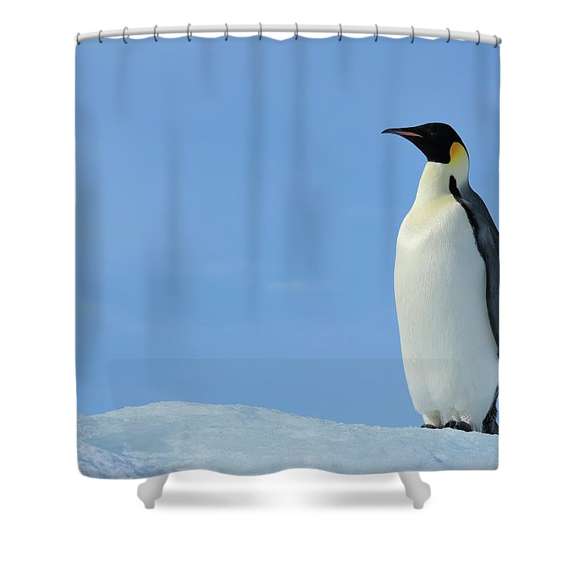 Emperor Penguin Shower Curtain featuring the photograph Emperor Penguin by Raimund Linke