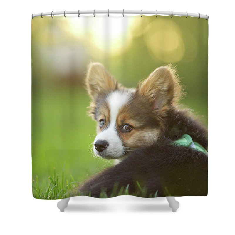 Pets Shower Curtain featuring the photograph Fluffy Corgi Puppy Looks Back by Holly Hildreth