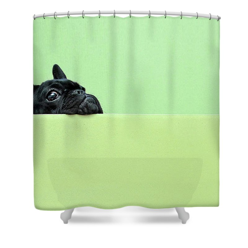Pets Shower Curtain featuring the photograph French Bulldog Puppy by Retales Botijero