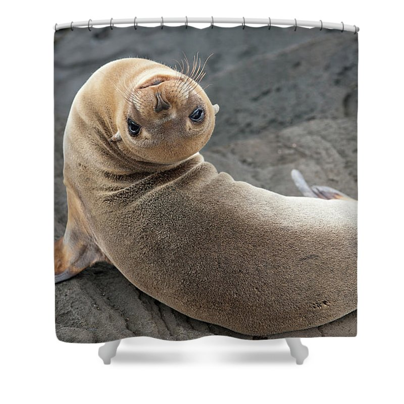 Looking Over Shoulder Shower Curtain featuring the photograph Fur Seal Otariidae Looking Back Upside by Keith Levit / Design Pics