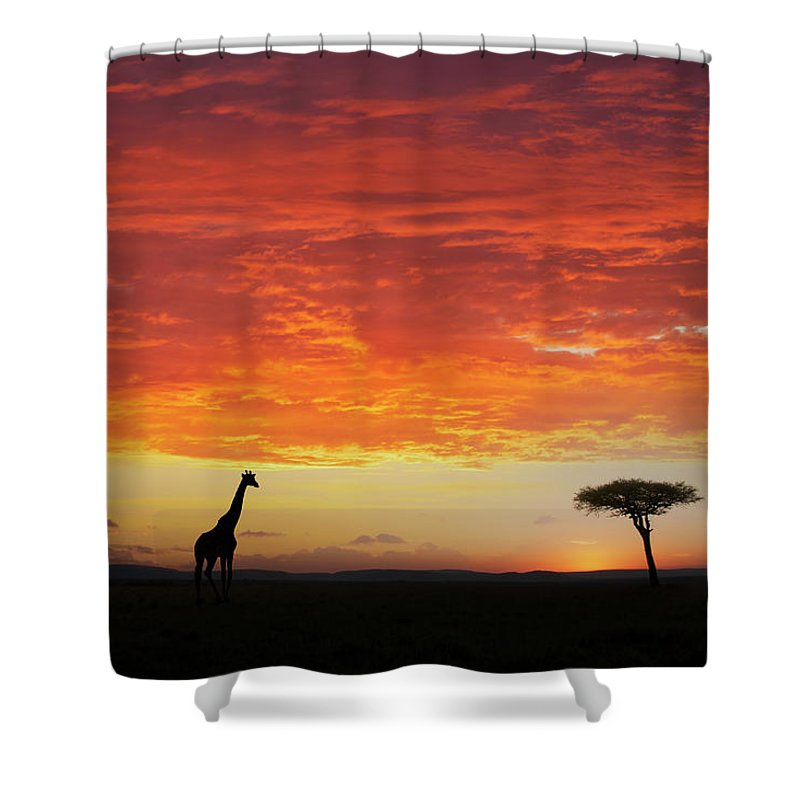 Kenya Shower Curtain featuring the photograph Giraffe And Acacia Tree At Sunset by Buena Vista Images