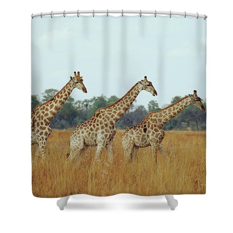 Horned Shower Curtain featuring the photograph Giraffe Herd, Botswana by Tim Graham