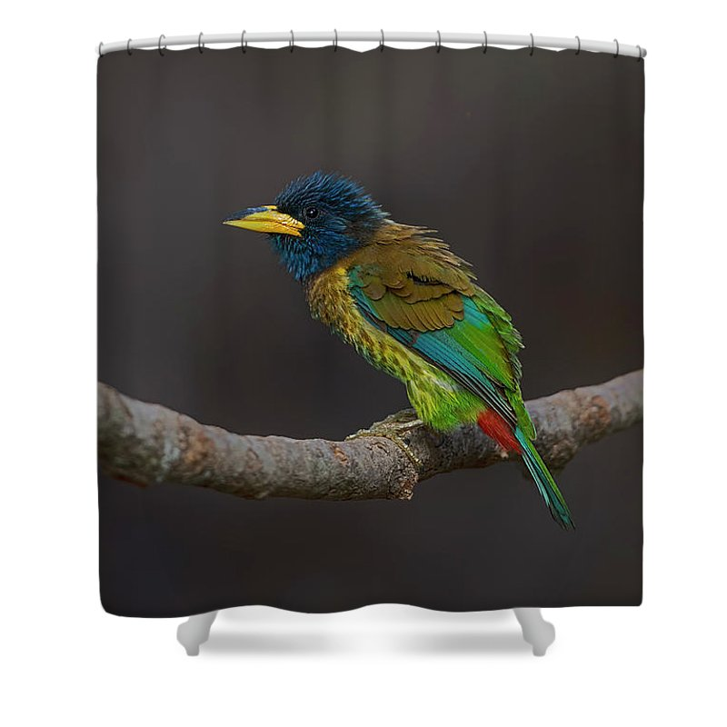 Bird Images For Print Shower Curtain featuring the photograph Great Barbet by Uma Ganesh