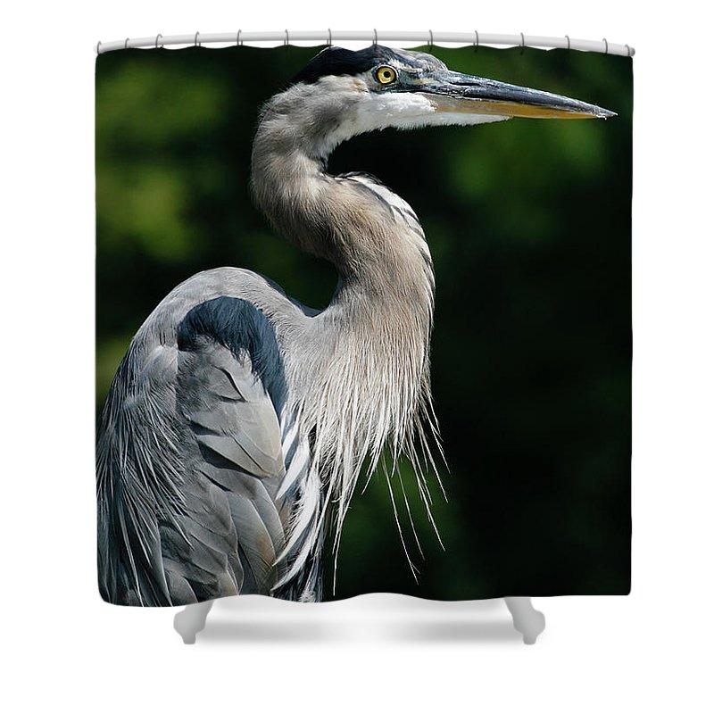 North Carolina Shower Curtain featuring the photograph Great Blue Heron by Bill Swindaman