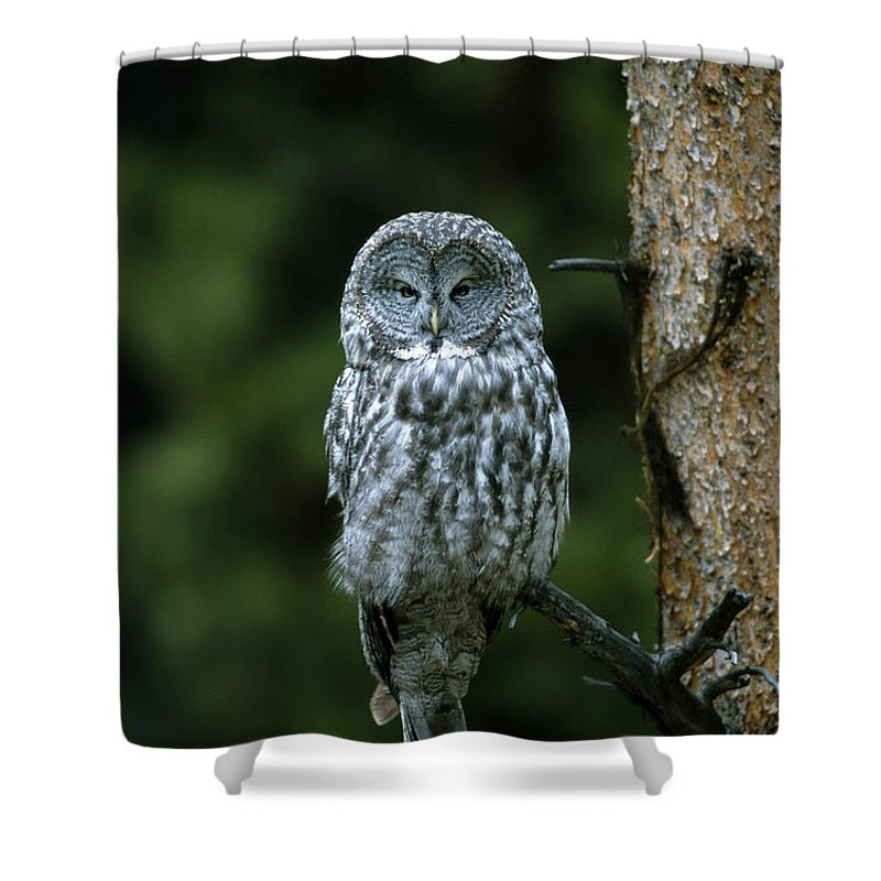 Great Gray Owl Shower Curtain featuring the photograph Great Gray Owl Strix Nebulosa On Perch by Riccardo Savi