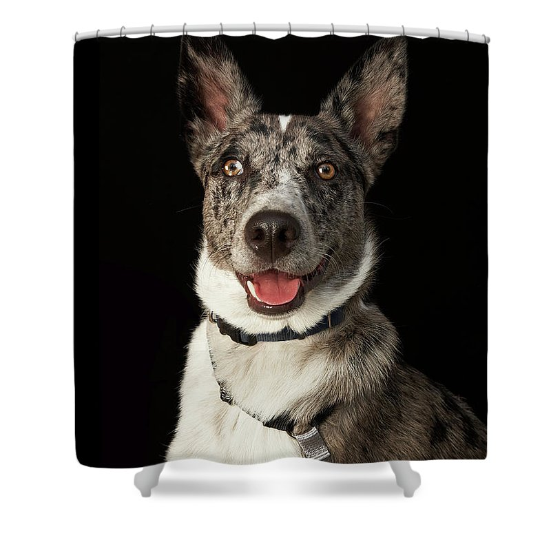 Pets Shower Curtain featuring the photograph Grey And White Australian Shepherd With by M Photo