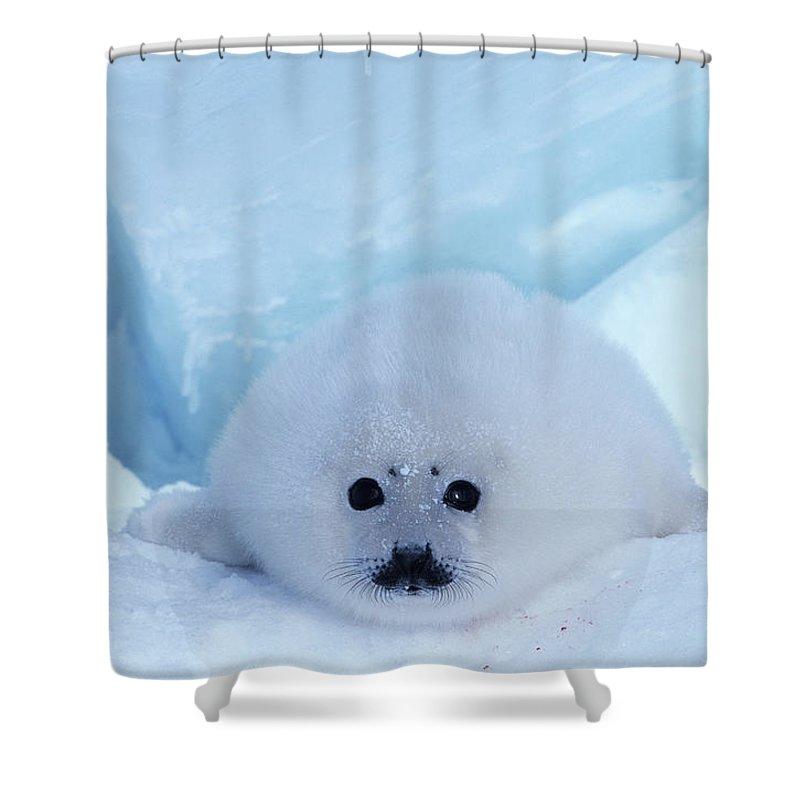 Iles De La Madeleine Shower Curtain featuring the photograph Harp Seal Phoca Groenlandica by Art Wolfe